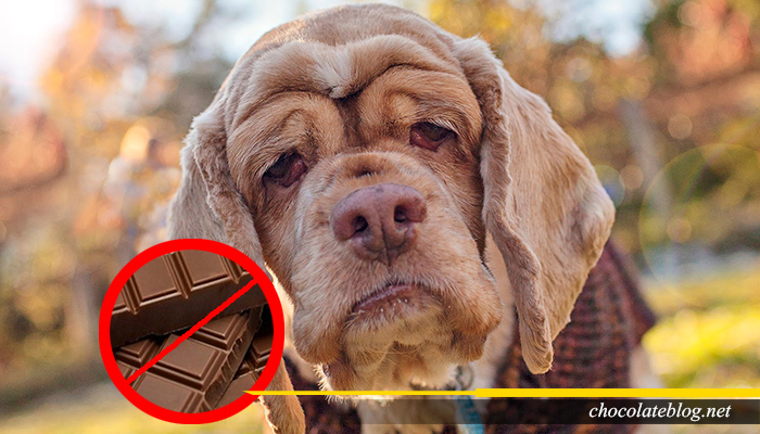 Coklat Membahayakan Kehidupan anjing
