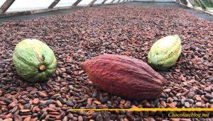 Produksi biji kakao tidak terbatas