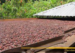 Proses penuaian biji kakao