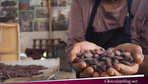 Perubahan Iklim Menguatkan Rasa Biji Coklat